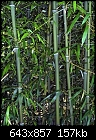 Type of Bamboo and Limiting spread-bamboo1.jpg