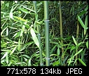 Type of Bamboo and Limiting spread-bamboo6.jpg