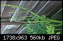 Identify Bamboo Species Please-img_20150623_205555.jpg