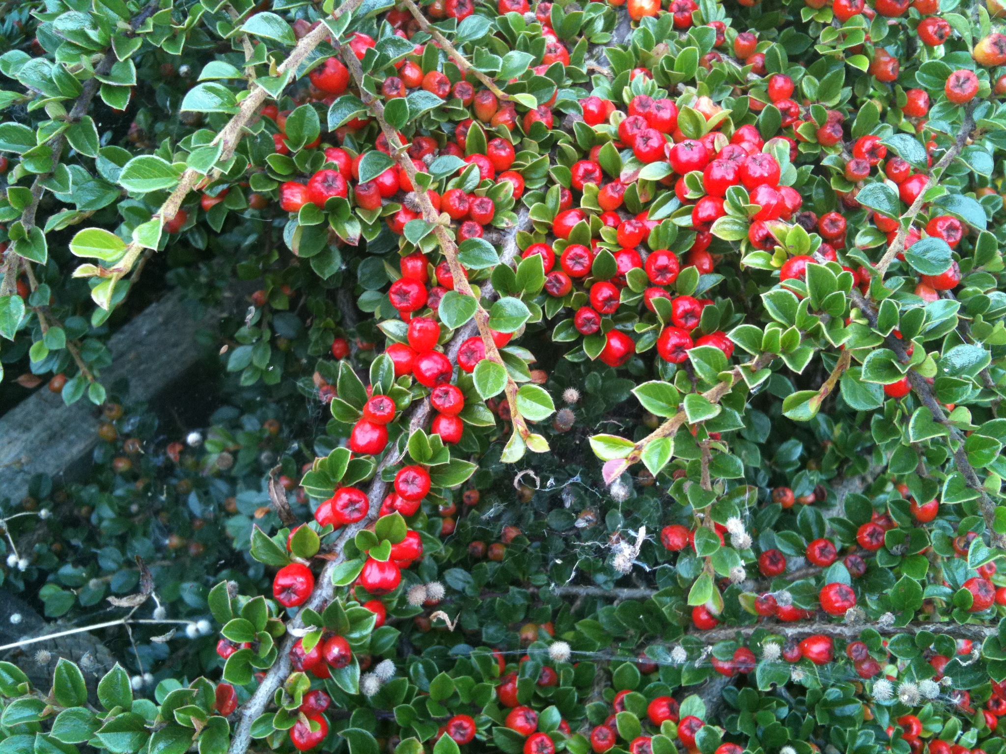 Landscaping Shrubs With Red Berries : Gallery for gt poisonous red berry bushes