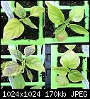 Help please! Chilli plants, leaves brown/white-chilli_photos_4.jpg
