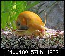do pomacea bridgsii apple snails eat tender plants?-apple-snail-002.jpg