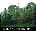 Giant Sunflowers-rhgs15ft_8_17_06.jpg