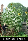 Giant Sunflowers-botts_row_08_12_05.jpg