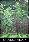 Giant Sunflowers-crxbott_14ft_8_12_05.jpg