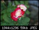 Rose:  - Rose-Red-n-White.jpg (1/1)-rose-red-n-white.jpg