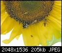 Bees (and Bugs): - sunflower-mit-bugs-3_2005.jpg (1/1)-sunflower-mit-bugs-3_2005.jpg