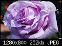 -blue-boy-rose.jpg