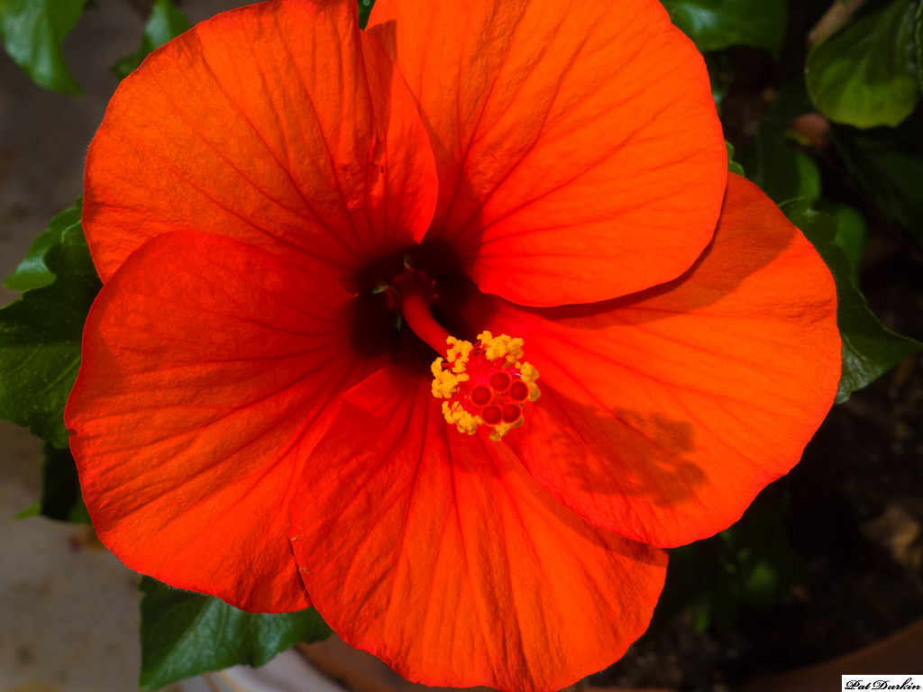 My weird red-orange hibiscus-my-weird-red-orange-hibiscus jpgOrange Hibiscus Flowers