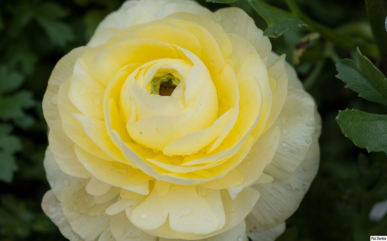 ranunculus - pale yellow - gardenbanter.co.uk