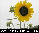 Retro Sunflowers - sunflowers-sky2a_2005.jpg (1/1)-sunflowers-sky2a_2005.jpg