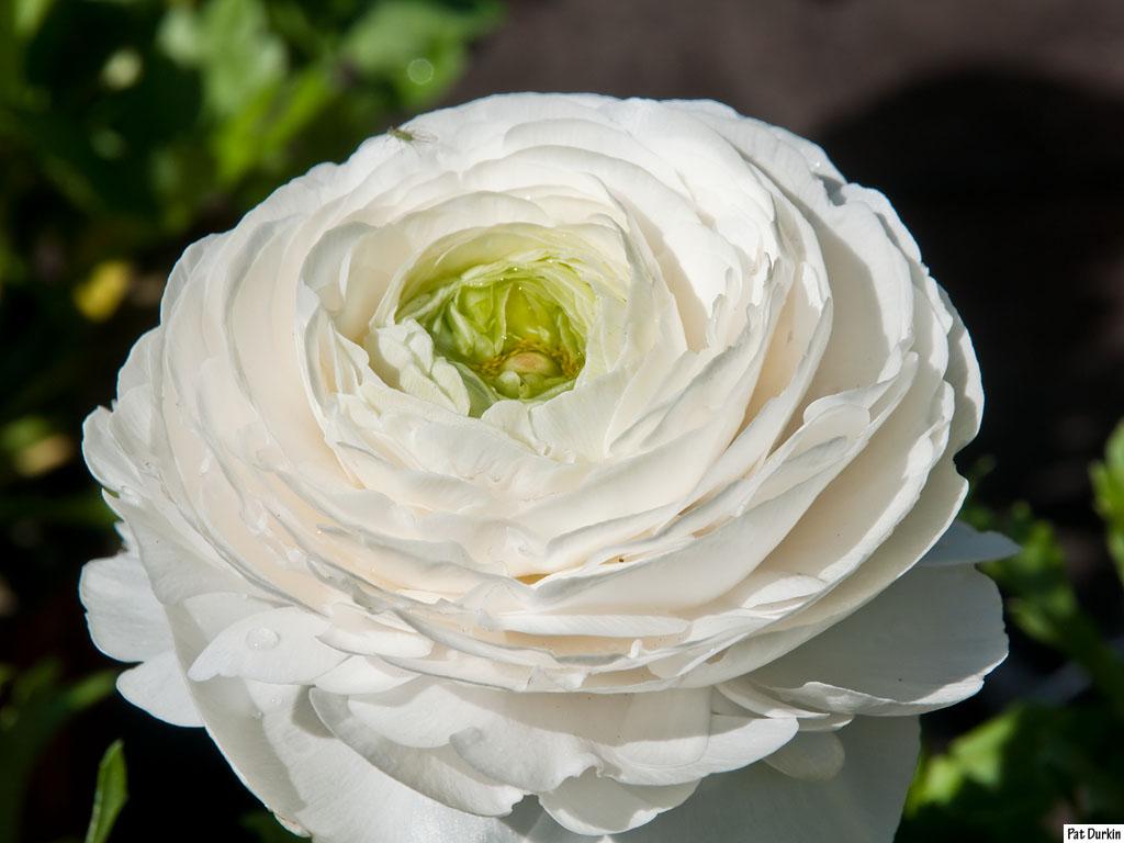 Ranunculus white GardenBanter