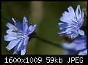 -blue-wildflower.jpg