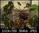 Just some leaves.-begonia-leaves-dsc01180.jpg