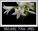 White Lily-4436-c-4436-whitelily-31-10-10-5d-400.jpg