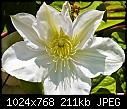 White Clematis-white-clematis.jpg