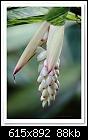 Variegated Shell Ginger-4430-(Alpinia zerumbet)-c-4430-ginger-30-10-10-5d-400.jpg