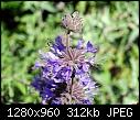 Scientific Name Salvia mellifera COMMON NAME BLACK SAGE Family Name Lamiaceae-scientific-name-salvia-mellifera-common-name-black-sage-family-name-lamiaceae.jpg