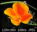 Scientific Name Eschsclozia californica COMMON NAME CALIFORNIA POPPY Family Name Papavaraceae-scientific-name-eschsclozia-californica-common-name-california-poppy-family-name-papavaraceae.jpg