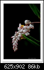 Shell Ginger-6319 (Alpinia zerumbet)-c-6319-azshellging-22-03-11-5d-400.jpg