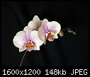-phalaenopsis_04022011a.jpg