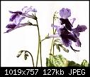 -streptocarpus2.jpg