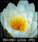 -white-water-lily.jpg