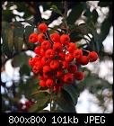 rowan fruit-sorbus_aucuparia-2.jpg