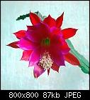 -epiphyllum_024-3.jpg