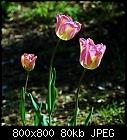 -tulip-greenland-1.jpg