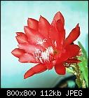 -epiphyllum_021_20140428-0.jpg