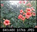 Orange Trumpet Creeper-5809-boru-cicegi-foca-2014.07.17.07.24.18-e.jpg