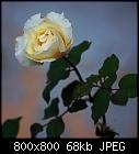 -rose_017-0.jpg