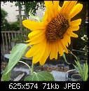 sunflower with busy bee 4 pictures (1/1)-20140823_125112_2b.jpg