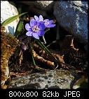 -anemone_hepatica-6.jpg