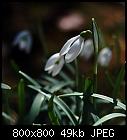 -galanthus_nivalis-4.jpg