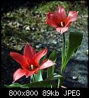 -tulip-kaufmannia_20150320.jpg