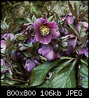 -helleborus_orientalis-2.jpg