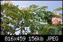 Blossoming tree in Foça, Turkey-foca-2015.06.18.15.19.03.jpg