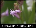 Pink bluebell-pink-bluebells-03360.jpg