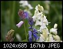 Blue, White and hybrid pink bluebells-blue-white-hybrid-pink-03373.jpg