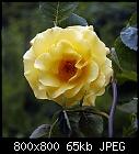 rose #8-rose_008-3_20160530.jpg