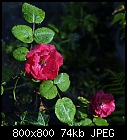 -rose_015_20160729.jpg
