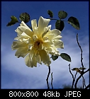 rose #25-rose_025_20160820_a.jpg