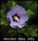 rose of sharon-hibiscus_syriacus_a-20160915-1.jpg
