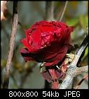 -rose_teehybride_rot-1_20161130.jpg
