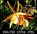Brassavola Yellow Bird - Orchid flower 1am.jpg (1/1)-orchid-flower-1am.jpg