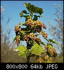 red currant flowers-ribes_rubrum_20170409.jpg