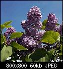 lilac-syringa_e5_20170515.jpg