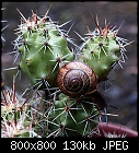 -echinocereus_snail_20170723.jpg